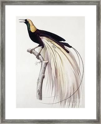 Greater Bird Of Paradise Framed Print
