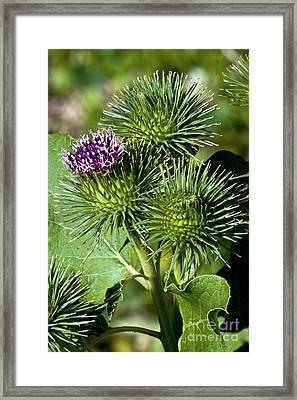 Greater Burdock In Bloom Framed Print