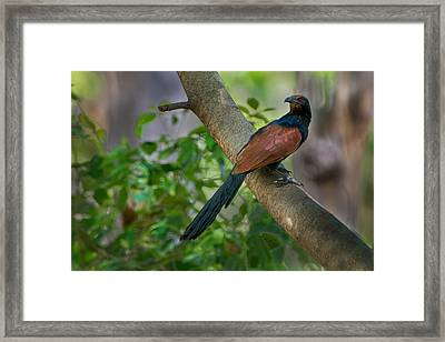 Greater Coucal Centropus Sinensis Framed Print