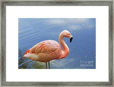 Greater Flamingo Framed Print by Afrodita Ellerman