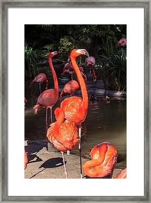 Greater Flamingo Framed Print by Daniel Hebard