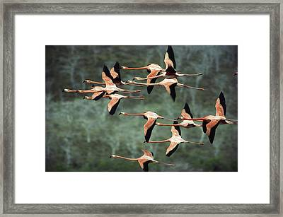 Greater Flamingo Phoenicopterus Ruber Framed Print by Tui De Roy