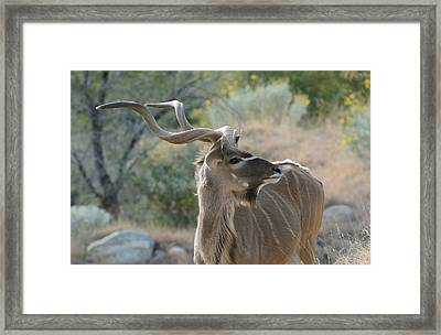 Framed Print featuring the photograph Greater Kudu 4 by Fraida Gutovich
