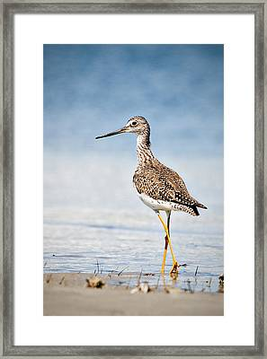 Greater Yellow Legs At Rachel Carson Estuarine Reserve Framed Print by Bob Decker