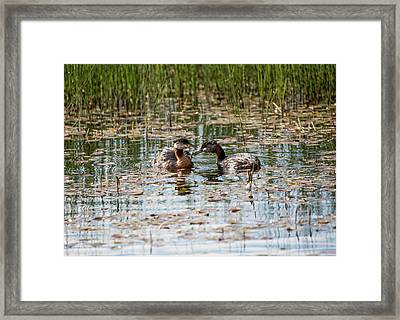 Grebe Breakfast Framed Print