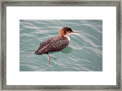 Framed Print featuring the photograph Grebe In The Water by AJ Schibig