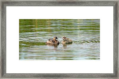 Grebes And Ripples Framed Print