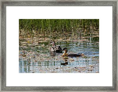 Grebe's On The Water Framed Print