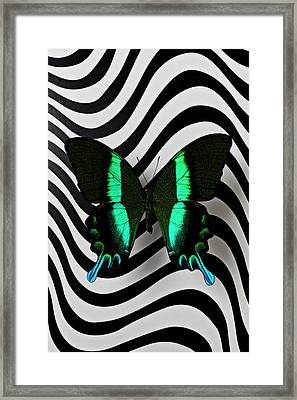 Green And Black Butterfly On Wavey Lines Framed Print by Garry Gay