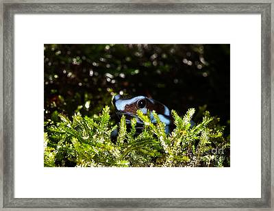 Green And Black Poison Dart Frog D Framed Print by Gerard Lacz