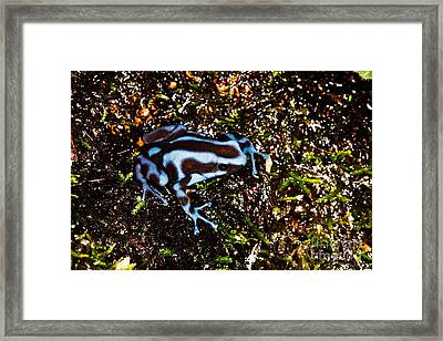 Green And Black Poison Dart Frog Framed Print by Gerard Lacz