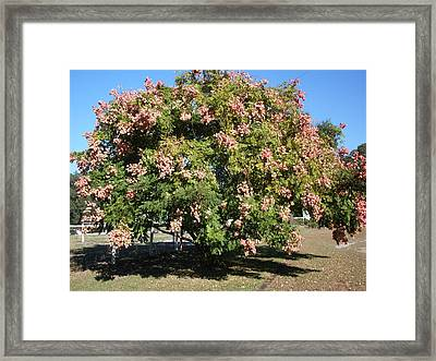 Green And Pink Tree Golden Rain Tree Framed Print by Warren Thompson