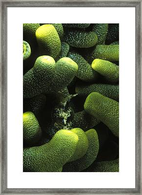 Green Anemone Column Aggregation Framed Print by James Forte