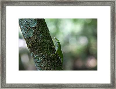 Green Anole Framed Print