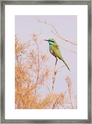 Green Bee-eater Merops Orientalis Framed Print by Alon Meir