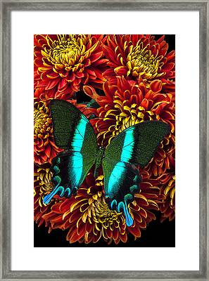 Green Blue Butterfly Framed Print by Garry Gay