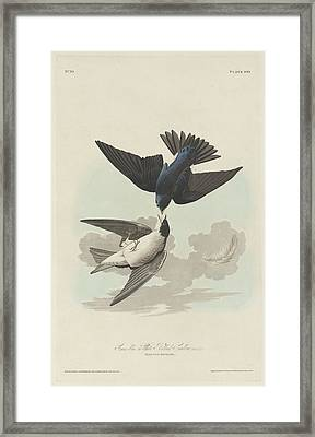 Green-blue Or White-bellied Swallow Framed Print by Dreyer Wildlife Print Collections