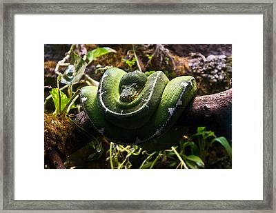 Green Boa Framed Print by Douglas Barnett