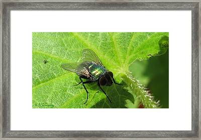 Framed Print featuring the photograph Green Bottle Fly by Maciek Froncisz