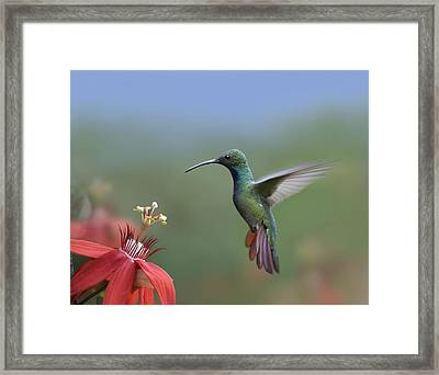 Green Breasted Mango Hummingbird Male Framed Print by Tim Fitzharris