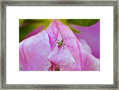 Green Bug On Rose Petal Framed Print by Michael Whitaker