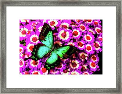 Green Butterfly On Pericallis Flowers Framed Print by Garry Gay