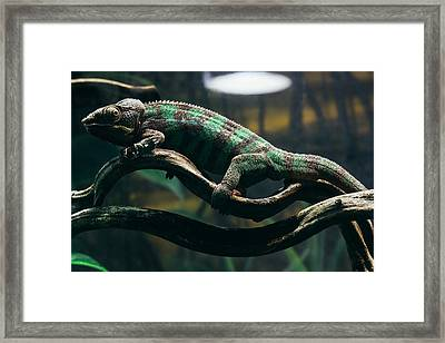 Green Chameleon Framed Print by Pati Photography