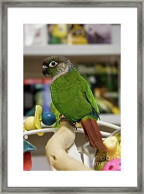 Green Cheek Conure Framed Print