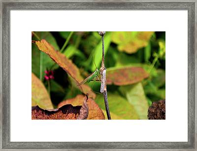 Framed Print featuring the photograph Green Conehead Cricket Holding Twig by Scott Lyons