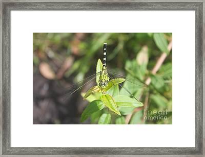 Green Darner Or Common Green Darner Framed Print by David Grant