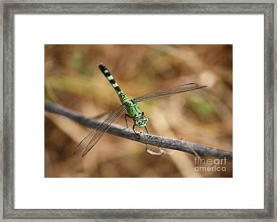 Green Dragonfly On Twig Framed Print by Carol Groenen
