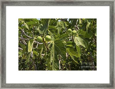 Green Figs Framed Print