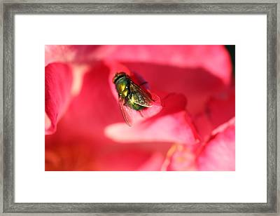 Green Fly Framed Print by Kerry Reed