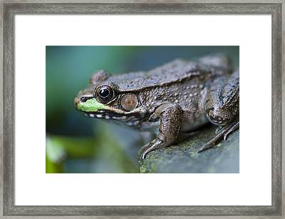 Green Frog Framed Print