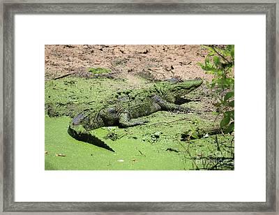 Green Gator Framed Print by Carol Groenen