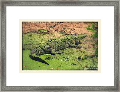 Green Gator With Border Framed Print by Carol Groenen