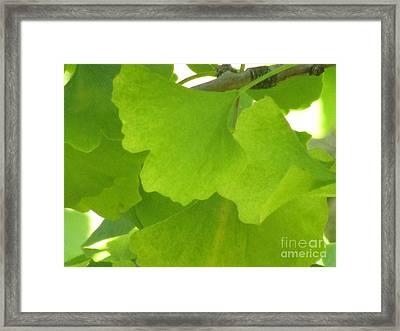 Green Ginkgo Framed Print