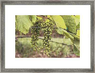 Green Grapes Spring Crop On The Vine Framed Print by Ella Kaye Dickey