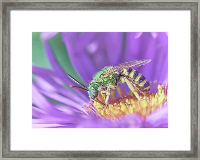 Green Halactid Bee  Agapostemon Virescens Framed Print