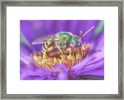 Green Halactid Bee On Purple Aster Framed Print