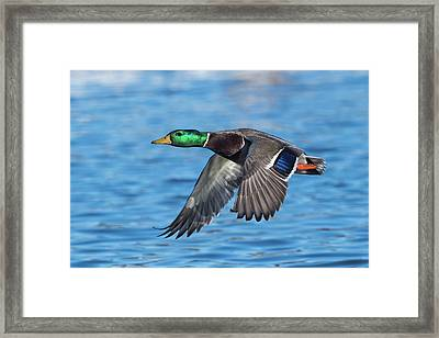 Green Head Flyby Framed Print
