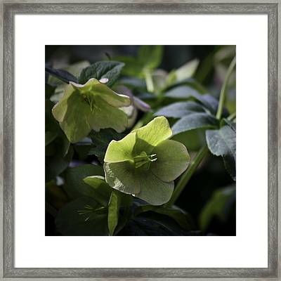 Green Hellebore Squared Framed Print by Teresa Mucha