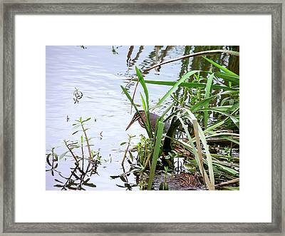 Green Heron Framed Print by Al Powell Photography USA