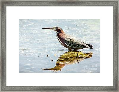 Green Heron Bright Day Framed Print by Robert Frederick