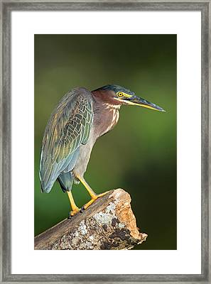 Green Heron Butorides Virescens Framed Print by Panoramic Images
