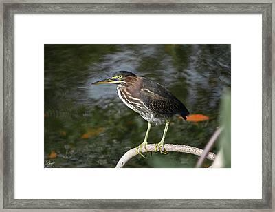 Green Heron Closeup #2 Framed Print by Debra Larabee