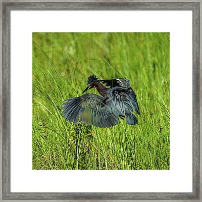 Green Heron Hunting Frogs Framed Print