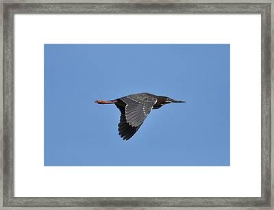 Green Heron In Flight Framed Print