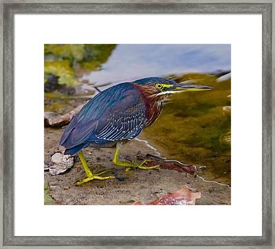 Green Heron Framed Print