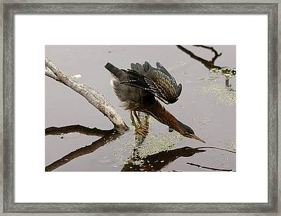 Green Heron Framed Print by JT Lewis